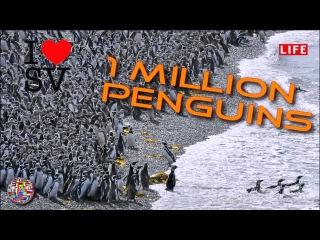Миллион пингвинов собрались в Аргентине для высидки яиц [SV Life]