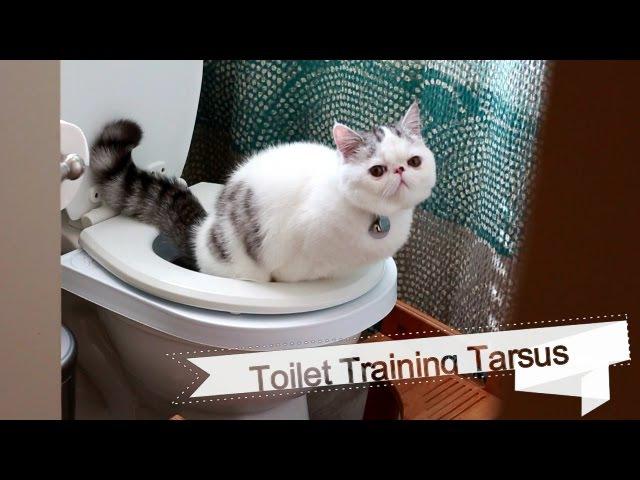 Toilet Training Exotic Kitten