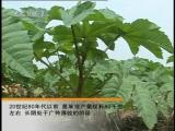 Клещевина Бима (лат. Ricinus communis), или касторовое деревце Бима Шу - возделывание важнейшей масленичной культуры Ч