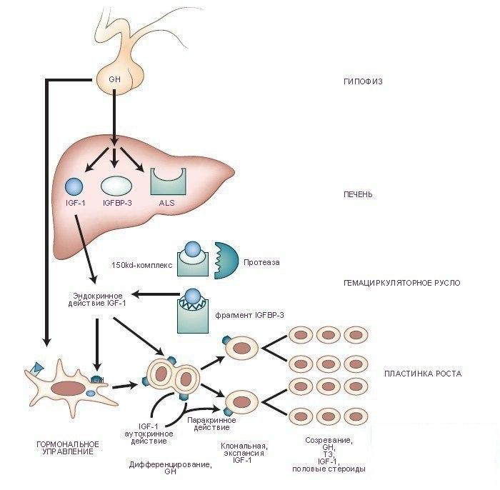 Соматотропный гормон, Статьи о фитнесе