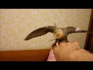 Нетипичное поведение птенца кореллы