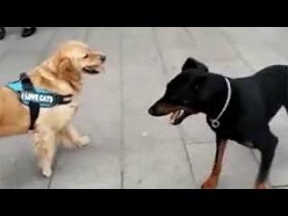 Этот пёс вырос на фильмах Ван Дамма / This dog rose Van Damme movies