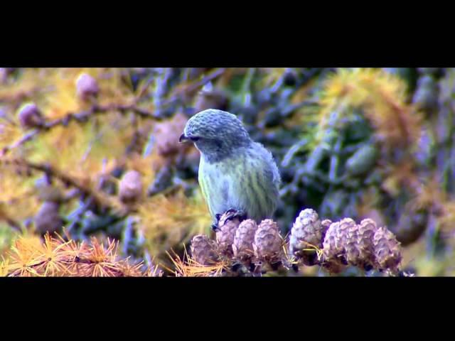 Пение птиц. Клёст-еловик (Loxia curvirostra).