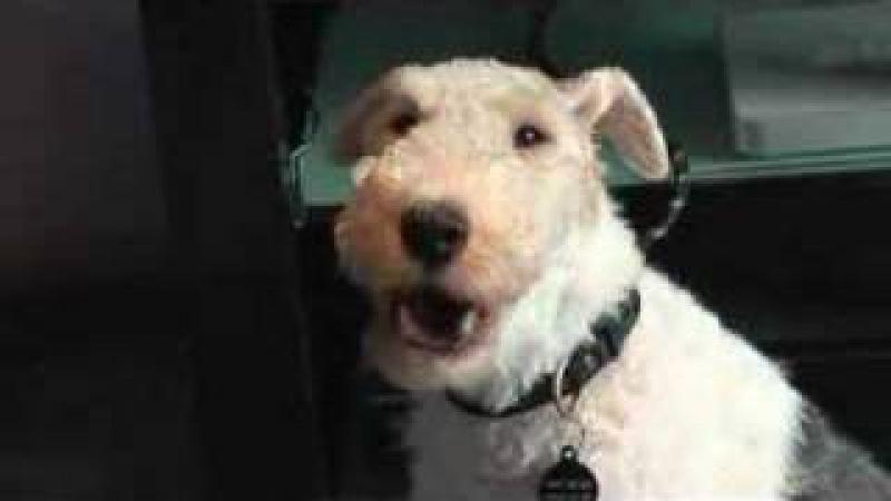 Singing dog wire haired fox terrier loves blackberry ringtones