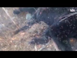 Растерзавшего геолога в Якутии медведя–людоеда сняли на видео