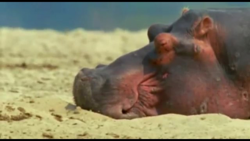 BBC. Ребятам о зверятах - Бегемоты