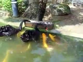 Лебеди кормят карпов. Даже птицы и рыбы могут договориться...