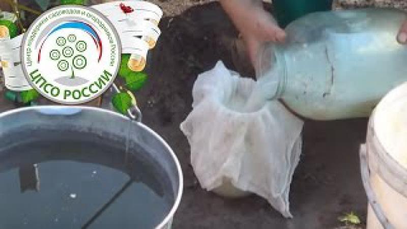 Народные средства от фитофторы. Обработка томатов молочной сывороткой.