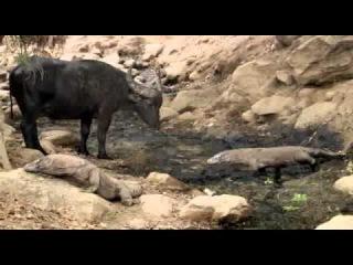 Komodo Hunt a Buffalo