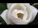 Como Hacer una Flor Magnolia con papel de arroz- Hogar Tv por Juan Gonzalo Angel