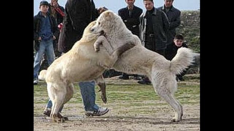 Central asian shepherd dog fighting