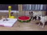 Котенка кинули в клетку к собакам. Жестокое видео!