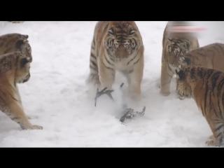 Очень толстые тигры и несчастный маленький дрон