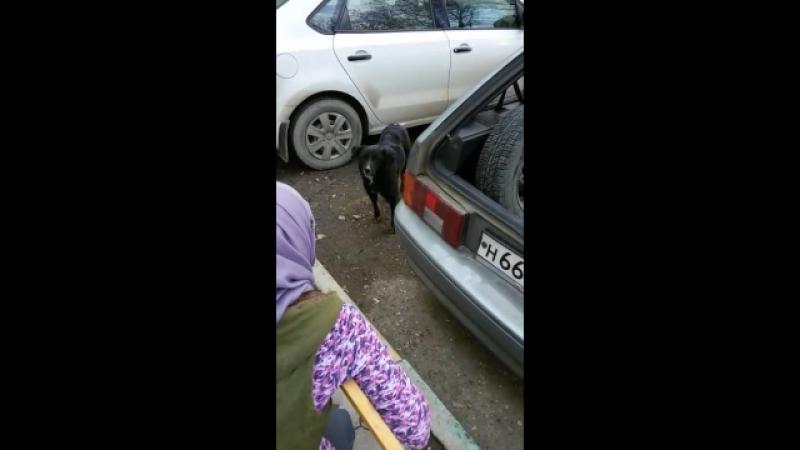 Собака ощенилась бедняга так как все подвалы заколочены она щенят родила под автомобилем Водитель задавил двух щенков