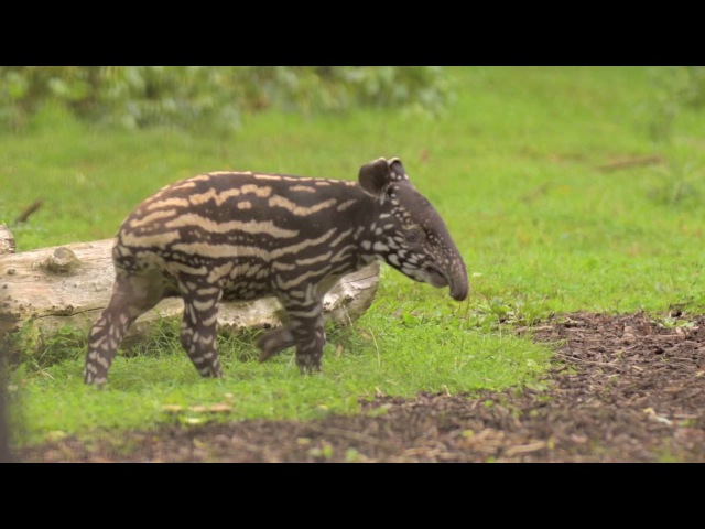 Solo the Malayan tapir calf embarks on her first outdoor adventure at Chester Zoo