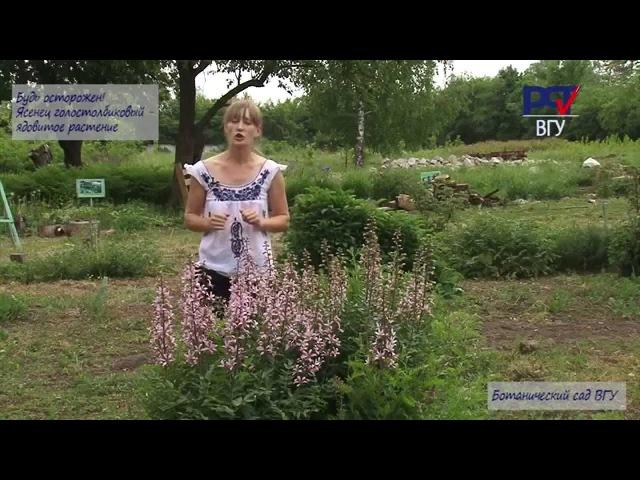 Красивые цветы, как химическое оружие-Купина неопалимая в Ботаническом саду ВГУ