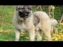 Собачьи БОИ Кавказец vs Алабай/Dogfights Caucasian Shepherd Dog vs Alabai