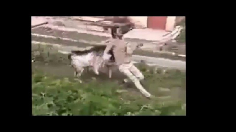 Funny - angry goat and sheep attacks people