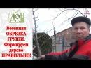 Весенняя ОБРЕЗКА ГРУШИ Формируем дерево ПРАВИЛЬНО Все тонкости обрезки от DelaOgorodnieTV