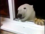 В Якутии накормили печеньем белого медведяpolar bear feading