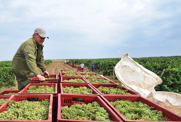 Ростовская область поддержит виноградарей и садоводов