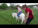 Crazy Girls and Funny Goat in Meadow