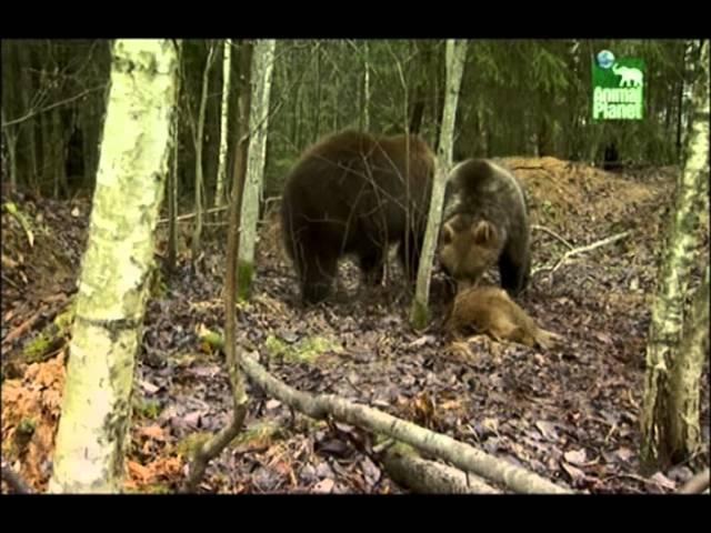 Animal Planet жизнь животных в Чернобыле