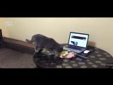 Как_отучить_кота_ходить_по_столу