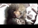 2 Weeks Old (pet) Smokey Red Baby Fox