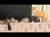 fox and babies
