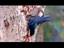 Green wood hoopoe / Зелёный лесной удод / Phoeniculus purpureus