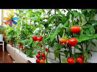 Как компактно посадить помидоры и зелень на балконе – Все буде добре. Выпуск 812 о...