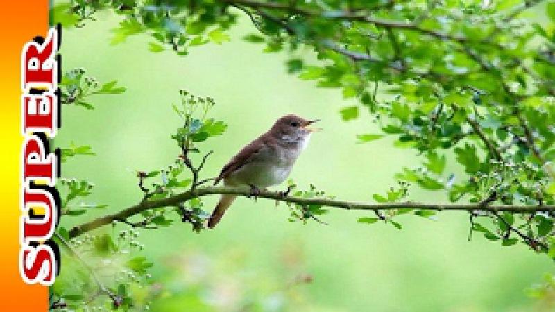 Божественно - Звуки Природы без Музыки. Утреннее Пение Птиц в Лесу.
