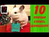 10 ПРИЧИН КУПИТЬ ШИНШИЛЛУ!- Интересные факты!