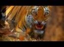 Жестокие бои тигров. Борьба на выживание в мире животных