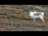 Arctic Fox, Reindeer, Polar Bears of Svalbard, Norway