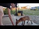 Karmienie młodego liska