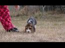 Beagle boy - PRIROZHDENNYY LIDER Kattyval - 8,5 weeks