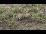 Драка двух гигантских черепах за территорию стала хитом Сети.