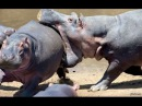 Дикие животные Африки. Нападение бегемотов на людей. Документальный фильм National G...