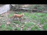 Adorable baby fox kits playing