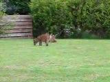 Playful wild baby foxes in garden in Healing