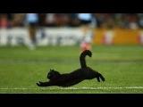 Черный кот выбежал на поле во время матча по регби