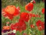 115.Цветы-Красные маки