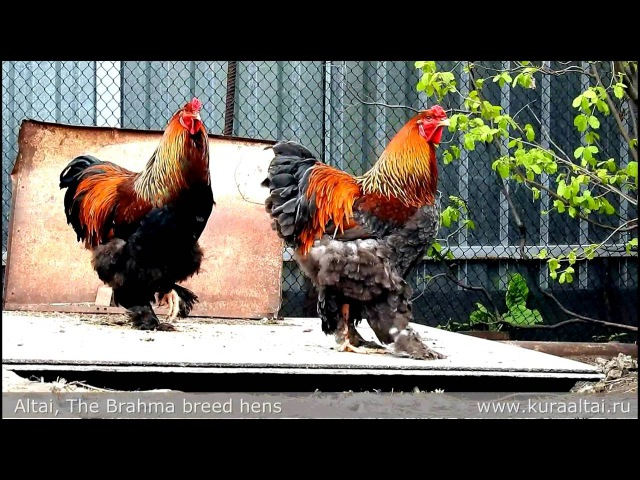 Gold Brahma breed Hens Ириска и Брама куропатчатая, цыплята