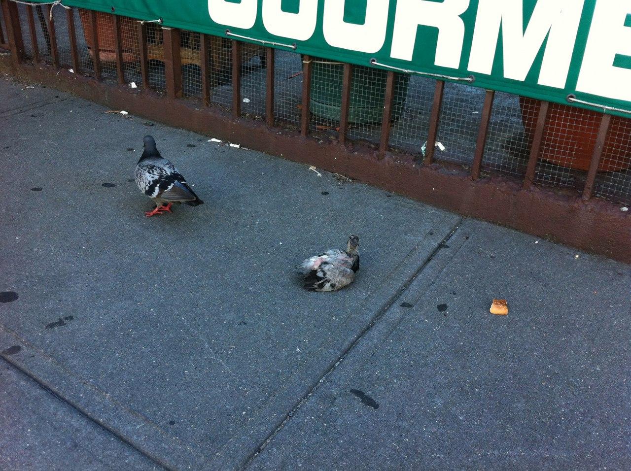 Почему жители городов никогда не видят птенцов голубей