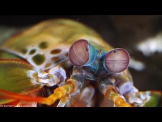 Улитко-разбивающая, Рыбо-гарпунящая Пучеглазая Креветка Богомол