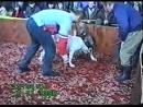 Американский бульдог Гёзер vs САО собачьи бои 18+