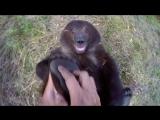Натуралист щекочет пятки гризли