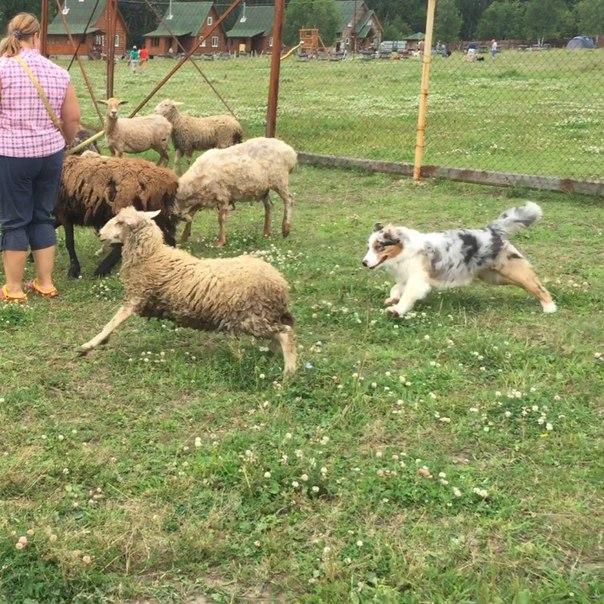 База данных по австралийским овчаркам в России - Страница 17 IJvB_oT27_o